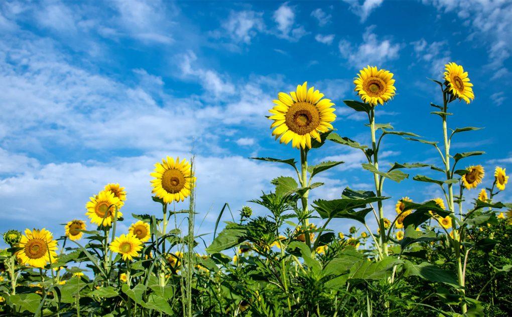 Floarea soarelui, tot ce trebuie să știți despre uleiul bio produs din plantă